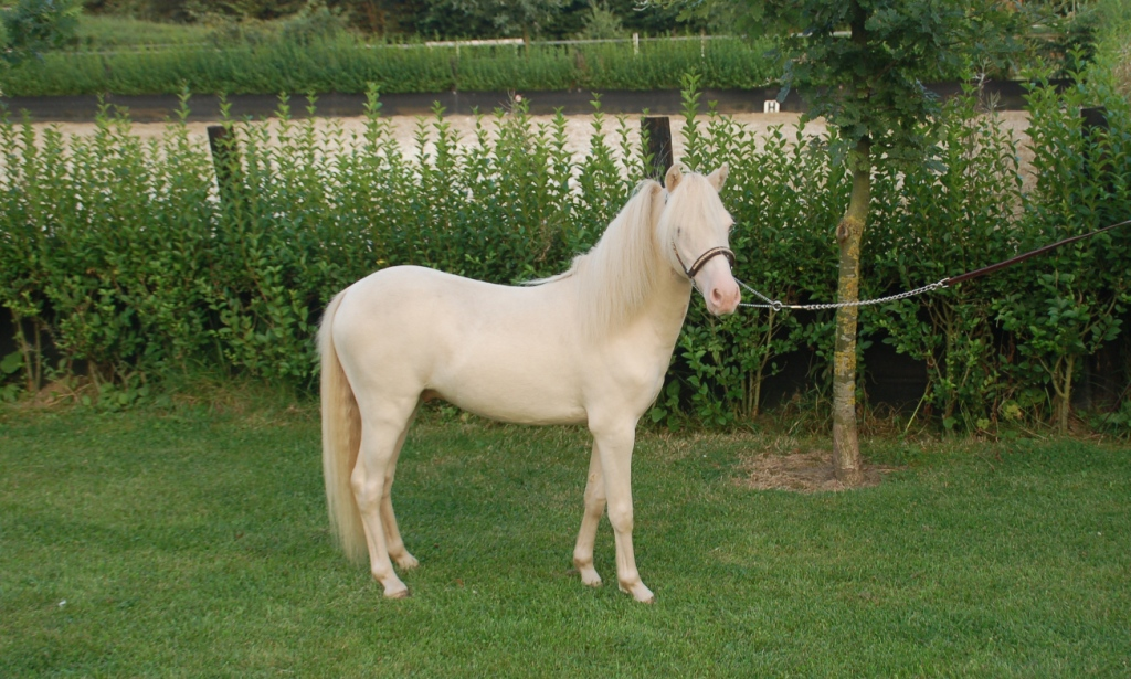 Driving Horses For Sale >> LM Idols European Echo - MDR Miniature Horses